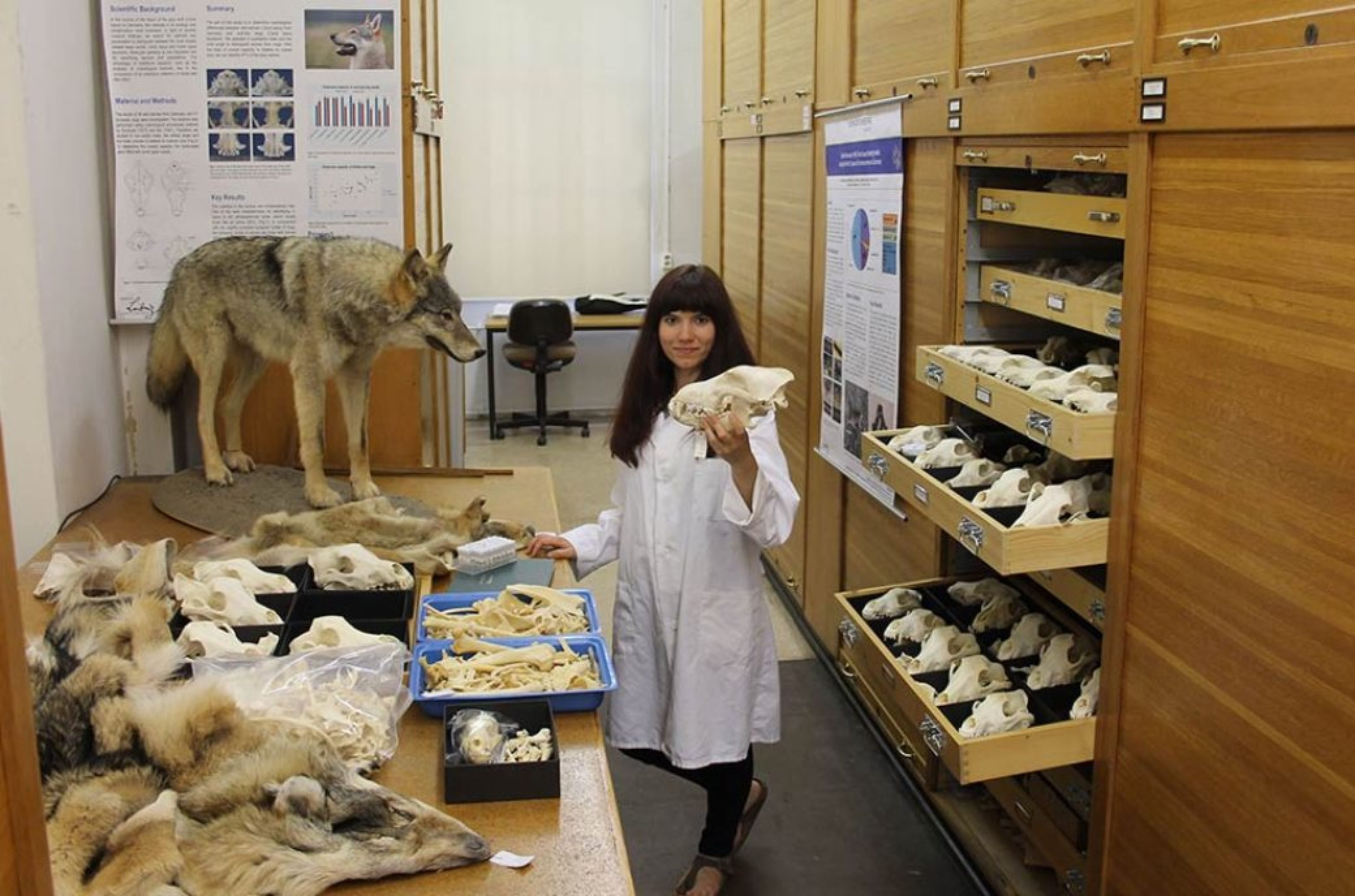 wolf research at the museum